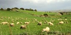 Sostegno al comparto ovino e caprino. Indicazioni per presentare le domande